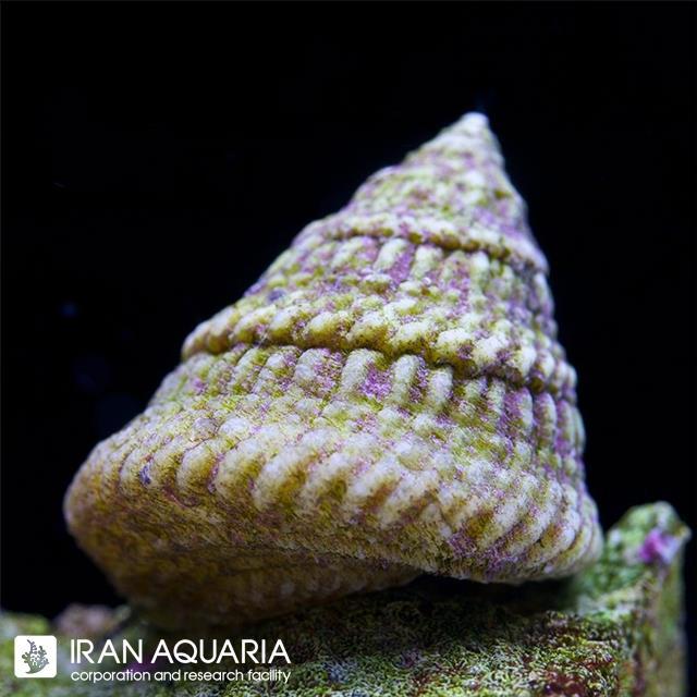 حلزون توربو ( Turbo Snails )