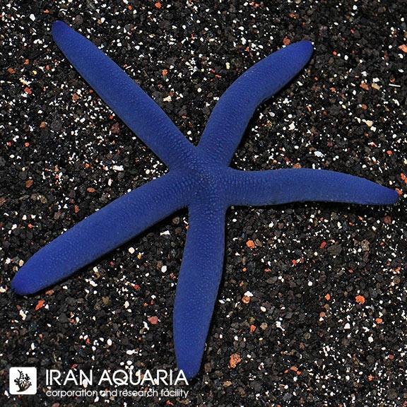 ستاره لینکیا آبی ( Blue sea star )