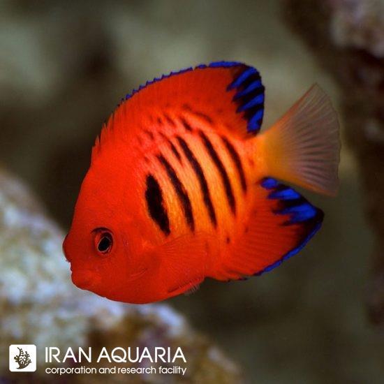 فرشته ماهی فلیم ( Flame angelfish )