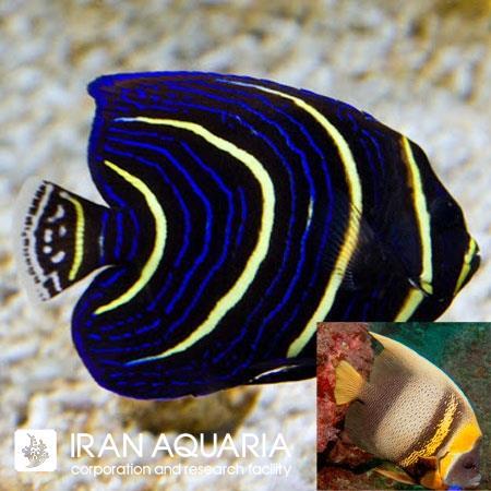فرشته ماهی کورتز ( cortez angelfish )