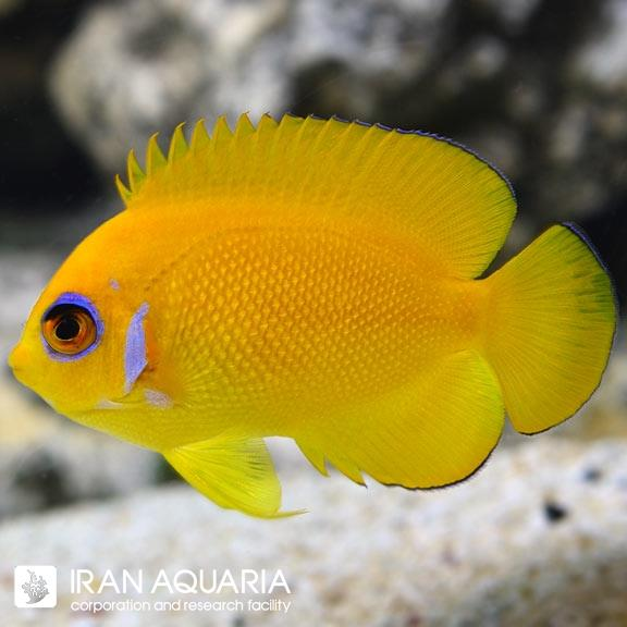 فرشته کوتوله لمون پیل ( Lemon peel angelfish )