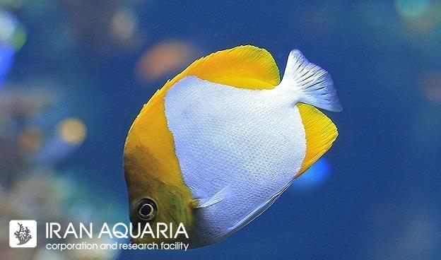 پروانه ماهی هرمی ( pyramid butterflyfish )