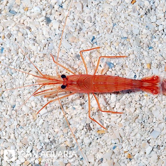 میگو پپرمینت ( pepermint shrimp )