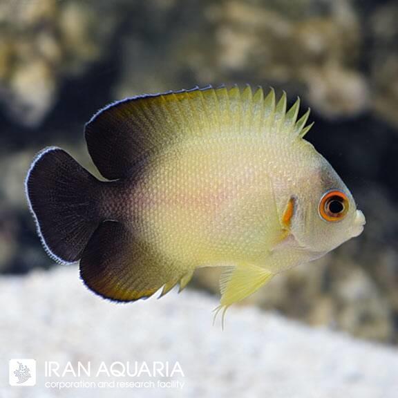 فرشته ماهی ورولیکی  ( Half Black Angelfish ) سایز M