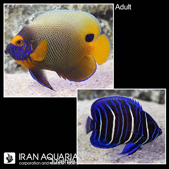 فرشته بلو فیس نابالغ ( Blueface angelfish )