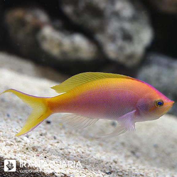 آنتیاس بارتلت ( bartlett anthias )
