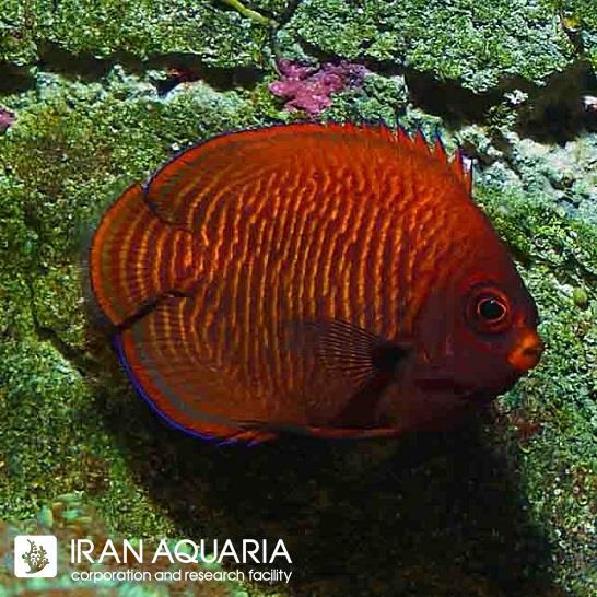 فرشته ماهی گلدن (Golden Angelfish)