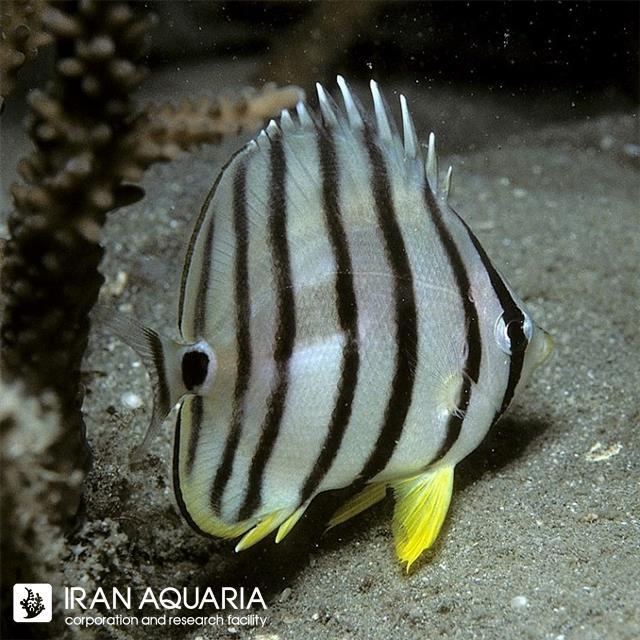 پروانه ماهی هشت خط (Eightband Butterflyfish)