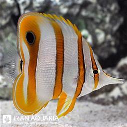 پروانه ماهی نوار مسی (Copperbanded Butterflyfish)