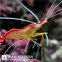 میگو کلینر ( cleaner shrimp ) سایز L