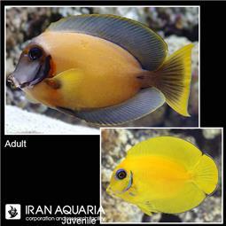 جراح ماهی میمیک  ( Chocolate surgeonfish ) بالغ