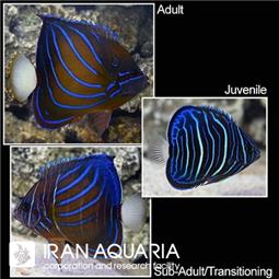 فرشته ماهی بلو رینگ (Blue Ring Angelfish)
