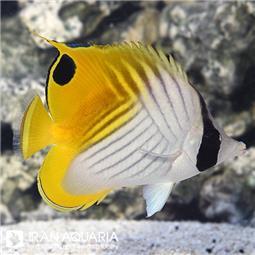 پروانه ماهی اوریگا  (Auriga Butterflyfish)