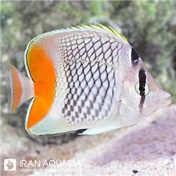 پروانه ماهی ماداگاسکار ( madagascar butterflyfish ) سایز ML