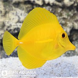 یلو تانگ ( Yellow tang ) ( تخفیف ویژه اشکان )