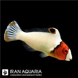 طوطی ماهی جوان ( Juvenile Parrotfish )