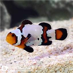 دلقک ماهی بلک آیس ( Black Ice Clownfish )