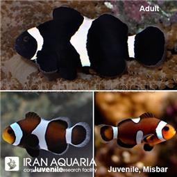 دلقک ماهی بلک اسلاریس ( black ocellaris clownfish )
