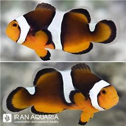 دلقک ماهی بلک فوتون (Black Photon Clownfish)