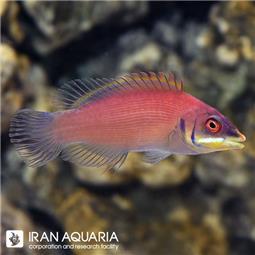راس اسکارلت پین (Scarlet Pin Stripe Wrasse)