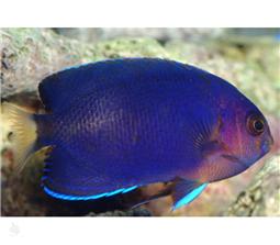 فرشته ماهی رویال پیگمی (Royal Blue Pygmy Angelfish)