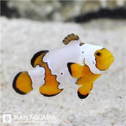 دلقک ماهی اسنو فلیک (Snowflake Clownfish)