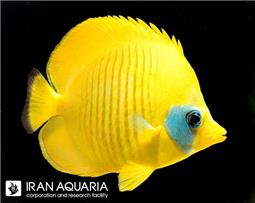 پروانه ماهی سمیلارواتوس ( Bluecheek butterflyfish )