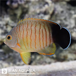 فرشته ایبیلی (Red stripe angelfish)
