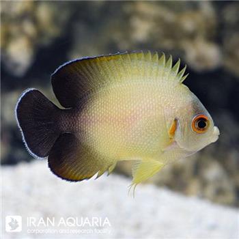 فرشته ماهی ورولیکی  (Half Black Angelfish)