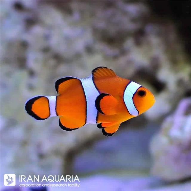 دلقک ماهی اسلاریس (Ocellaris Clownfish)