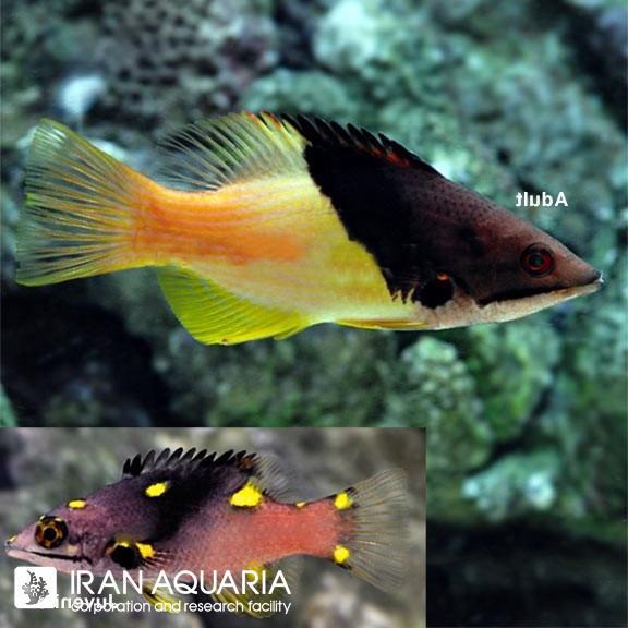 هاگ اکلیبس (Coral Hogfish)
