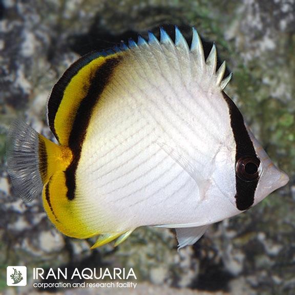 پروانه ماهی واگابوند (Vagabond Butterflyfish)