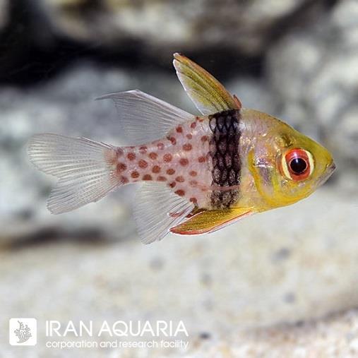 کاردینال پیجاما (Pajama Cardinalfish)