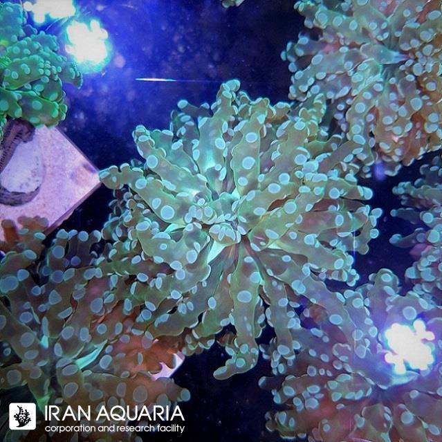 مرجان فراگ اسپان (FrogSpawn Coral)
