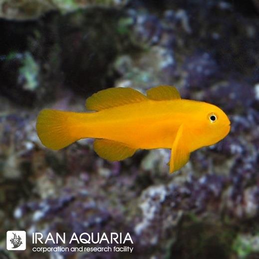 گابی دلقک زرد (Yellow Clown Goby)