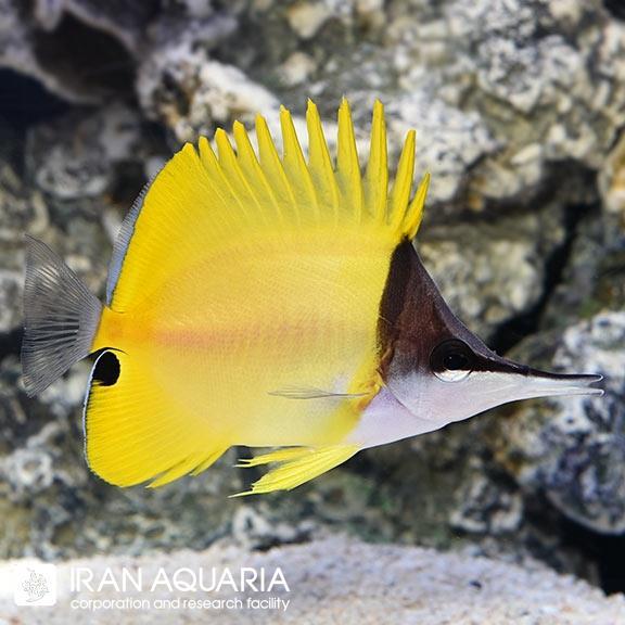 پروانه ماهی لانگ نوز (Longnose Butterflyfish)