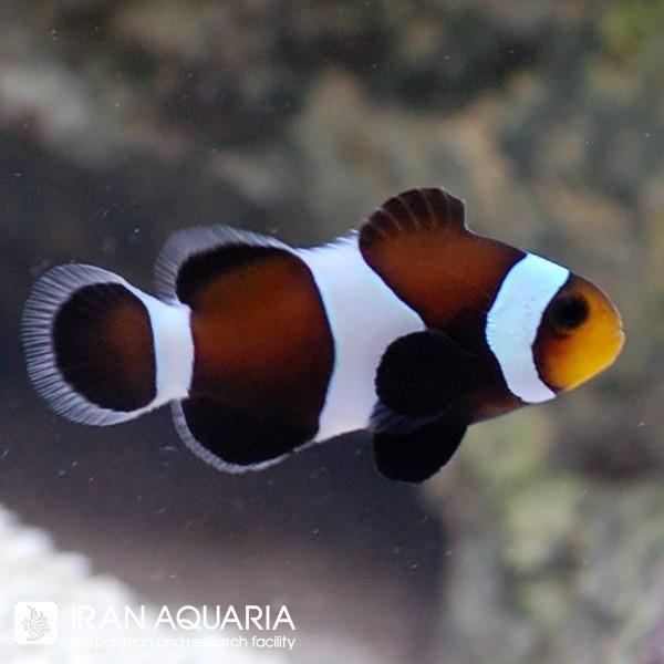 دلقک ماهی اسلاریس سیاه (Black Ocellaris Clownfish)