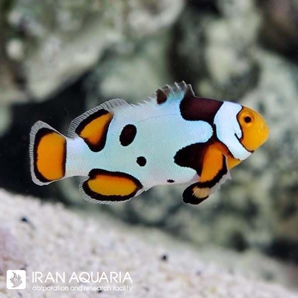 دلقک ماهی پیکاسو (Picasso Clownfish)