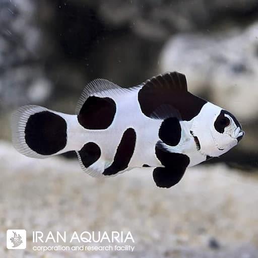 دلقک ماهی بلک استورم (Black Storm Clownfish)