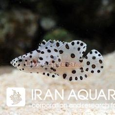 هامور پنتر ( Panther grouper ) سایز ML