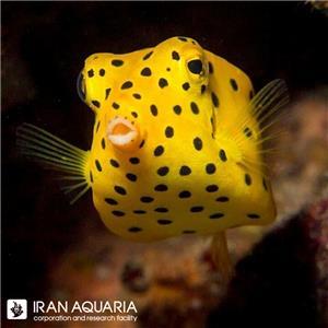 جعبه ماهی زرد ( Yellow Boxfish ) سایز M